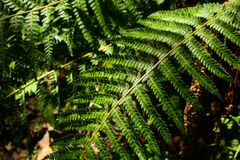 Ormbunkeblad i skogen Arkivfoto