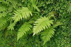 Ormbunkeblad i tropisk rainforest Royaltyfria Foton