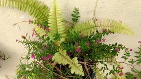 Ormbunkeblomman med rosa färger blommar i en blomkruka Royaltyfria Foton