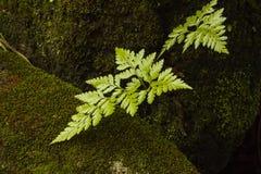 Ormbunken i natur blomstrar på fuktighet fotografering för bildbyråer