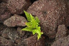 Ormbunken som växer i magma, vaggar Arkivfoto