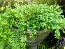 Ormbunken Spike Moss planterade i stora krukor arkivfoton