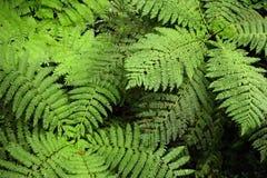 Ormbunkeormbunksblad virvlar skenbart runt, när de ses från ovanför i det Monteverde molnet Forest Reserv i Costa Rica royaltyfria foton