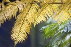 Ormbunkesidor i den Daintree rainforesten, Australien Royaltyfri Fotografi