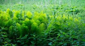 Ormbunkesidor i tät skog Fotografering för Bildbyråer