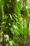 Ormbunkesidor och träd i det urtids- för skog Arkivfoton