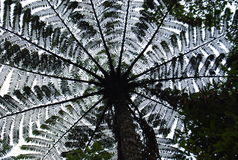 Ormbunketräd Arkivbild