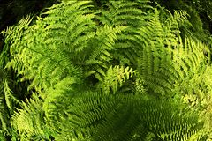 Ormbunkeväxt i skogen Royaltyfri Bild