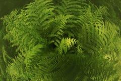Ormbunkeväxt i skuggan av träd Fotografering för Bildbyråer