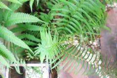 Ormbunkeväxt i trädgården Royaltyfri Fotografi