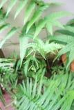 Ormbunkeväxt i trädgården Royaltyfria Bilder