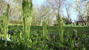 Ormbunkeväxten slår ut bladet och blommar i trädgård för vårtid 4K stock video