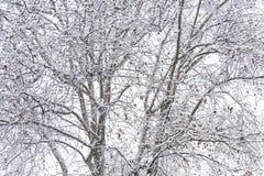 Ormbunksblad av snö-täckte träd som skapar en textur av branche Royaltyfria Bilder