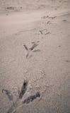 Orme dell'uccello sulla spiaggia di sabbia Fotografie Stock