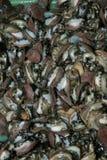 Ormeau vivant. Photo libre de droits