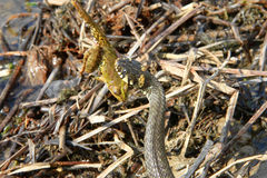 Ormen fångade en groda Royaltyfria Bilder