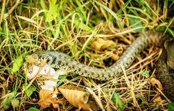 Ormen fångade en groda och är omkring till swollow det Arkivbild