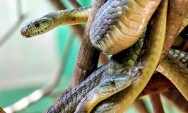 Ormen för grön Mamba på trädet i Uganda, Afrika Arkivbilder