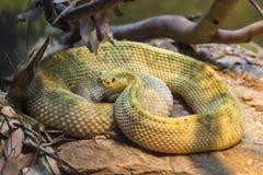 Ormen för huggormen för gropen för den Neotropical skallerormen krullade den giftiga upp Royaltyfria Foton