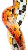 Ormen flår Royaltyfri Fotografi