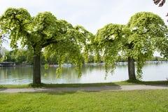 Ormes pleurants sur le Lac de Constance Photos libres de droits