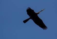 Ormfågel Fotografering för Bildbyråer