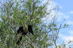 Ormhalsfågel Arkivbild