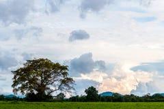 Ormosia дерева Craib в луге Стоковая Фотография RF