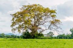 Ormosia дерева Craib в луге Стоковое Изображение