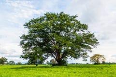 Ormosia дерева Craib в луге Стоковые Изображения