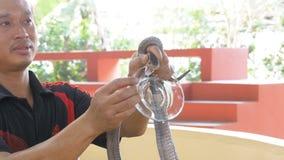 Ormshow Trick för ormförlagehanterareshower med giftiga ormar thailand arkivfilmer