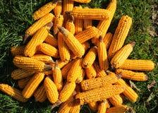 Сorn harvest Royalty Free Stock Photo
