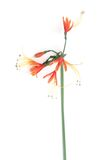 Ornage flower. Orange flowers are on white background Stock Photos