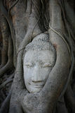 Ornament: Detailed Sandstone Buddha Head In Tree Royalty Free Stock Images