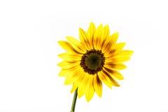 Ornament Sunflower. Royalty Free Stock Photo