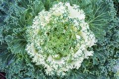 Ornamentacyjna kapusta lub Kale Obrazy Stock