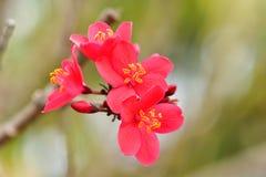 Ornamentacyjna kraba jabłka roślina lub crabapple właśnie gdy ja jest calone te dla sowicieckiego wystrzału biel, menchie lub cze Fotografia Stock