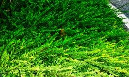Ornamentacyjna petuni roślina zdjęcie stock