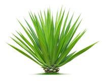 Ornamentacyjna roślina Obrazy Royalty Free