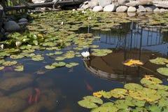 Ornamentacyjna ryba który pływa w kwitnienie wodnych leluj fotografii i stawie Zdjęcia Stock