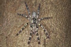 Ornamentacyjna tarantula & x28; Poecilotheria regalis& x29; Obraz Royalty Free