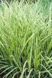Ornamentacyjna trawa dla kształtować teren zdjęcie stock