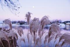 Ornamentacyjne Amerykańskie Wysokie trawy i księżyc wzrost przy świtem Zdjęcie Royalty Free
