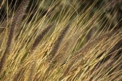 Ornamentacyjne bawolie trawy Obraz Royalty Free
