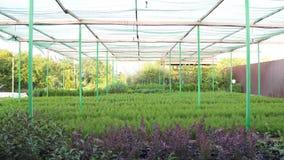 Ornamentacyjne conifer rozsady rosnąć na roślinie uprawiają ziemię zbiory wideo
