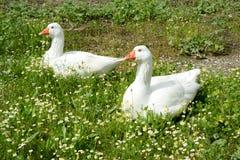 Ornamentacyjne kaczki zrobią ceramiczny na gazonie zdjęcia stock