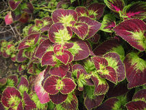 Ornamentacyjne rośliny w ogródzie Obraz Stock