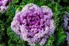 Ornamentacyjnego brassica kwiatu kapuściane rośliny obraz royalty free