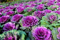 Ornamentacyjnego brassica kwiatu kapuściane rośliny fotografia stock