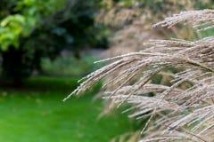 Ornamentacyjnego ogródu traw dekoracyjna jasnobrązowa trawa Fotografia Stock